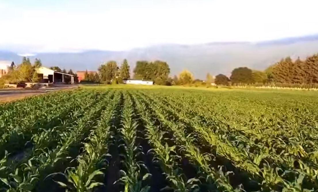Woman spots beautiful sasquatch in cornfield